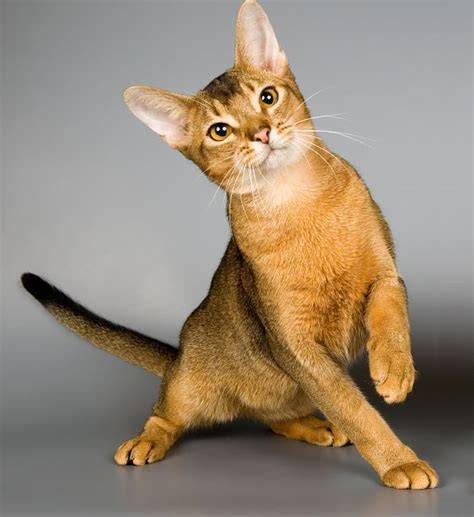 Non Shedding Cat Breeds by Non Shedding Large Breed Dogs To Non Shedding
