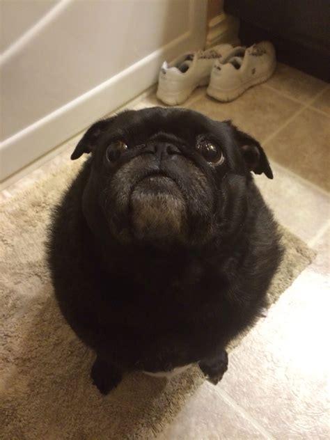 my pug my pug shaggy aww