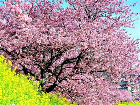 cherry tree background the cherry tree wallpapers high quality free