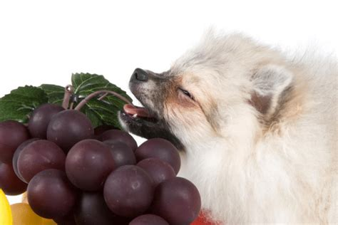 can dogs grapes can dogs eat grapes are they toxic for dogs