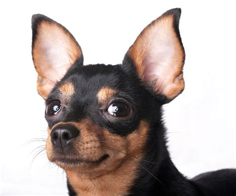 dogs ears smell cleaning a s ears normal smelly or nation