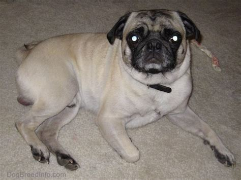 diabetic pug pug breed information and pictures