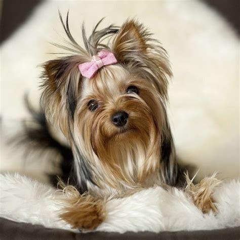 yorkies behavior 525 best yorksire terrier images on terriers yorkies and doggies