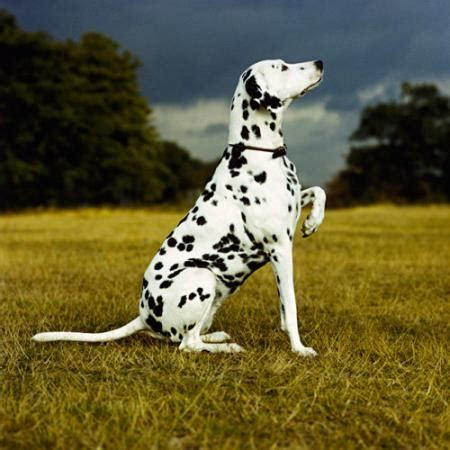 spot puppy a white with black spots animals pets images photos