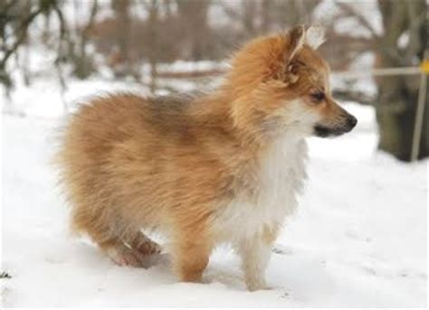 breeds that look like foxes breed that looks like a fox