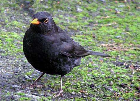 Desktop Wallpapers Animals Wallpapers Flowers Wallpapers Black Bird