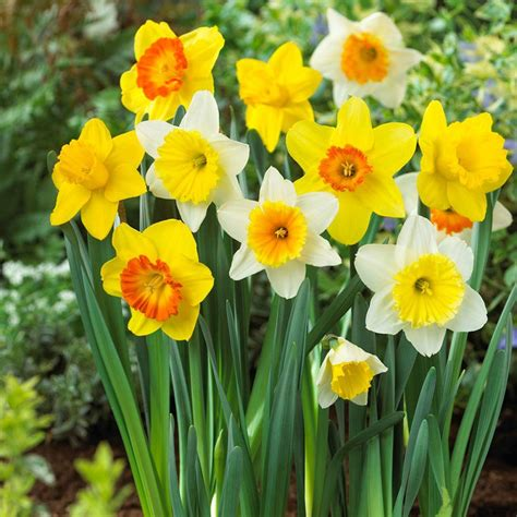 bloomsz large cupped daffodil mix flower bulb 20 pack