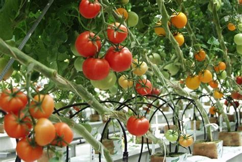 wild tomato genome  valuable insights  tomato growers