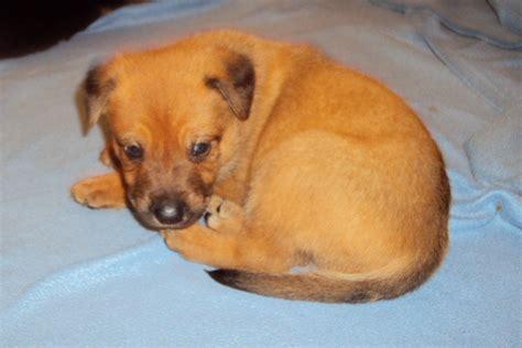 kelpie x rottweiler puppies for sale for sale kelpie cattle x puppies
