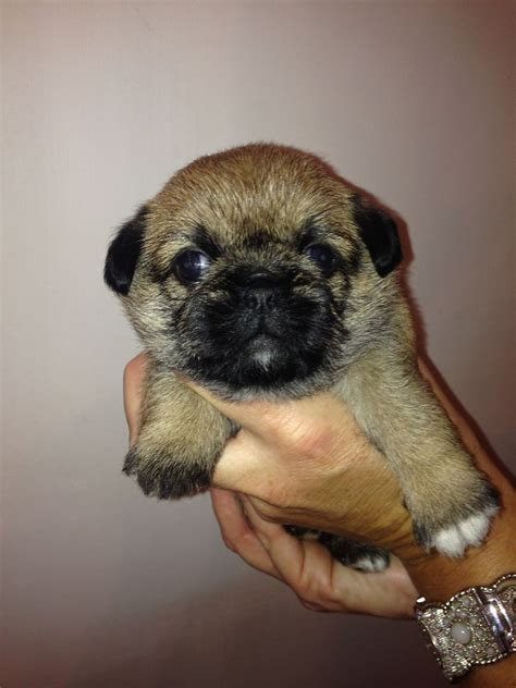 pug zu puppies for sale chunky pug zu shugs bristol bristol pets4homes