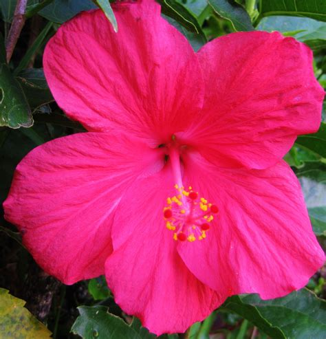 coral colored coral colored hibiscus kukuau hilo hi amazing