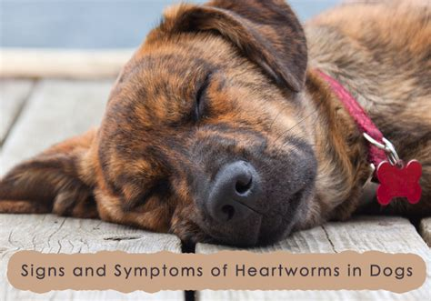 symptoms in dogs signs and symptoms that your has heartworms bestvetcare