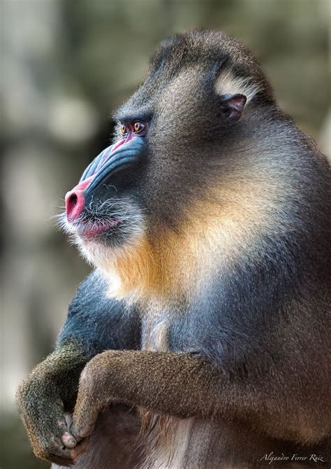 images  baboonmandrill  pinterest mothers africa  zoos
