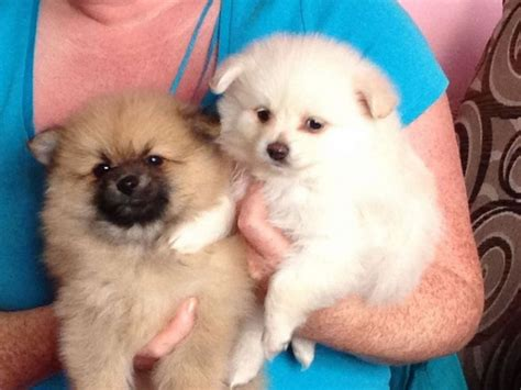 teacup micro pomeranian puppies for sale micro teacup pomeranian puppies sale greater manchester pets4homes