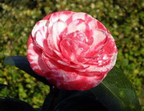 imagenes raras de rosas o blogue da nelma flores raras