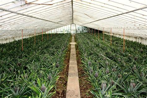 turisti per caso azzorre ananasso sao miguel azzorre viaggi vacanze e turismo