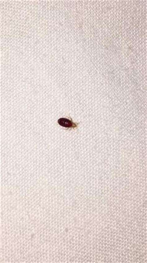 bed bugs michigan one of several bed bugs found in the room picture of zellar s village inn newberry tripadvisor