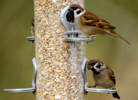 Pakan Lolohan Untuk Burung Gereja prospek cerah penangkaran burung gereja om kicau