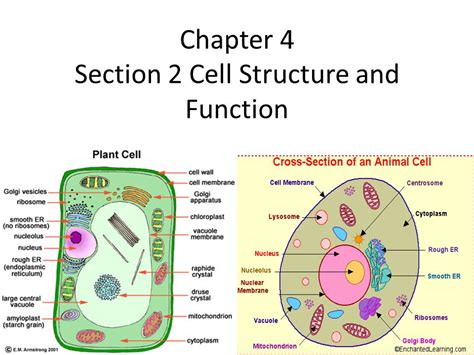 cell structure and function section 5 3 chapter 4 section 2 cell structure and function ppt