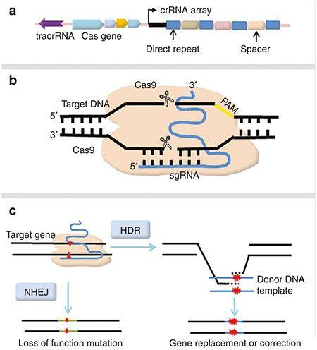 Schematic Representation Of Crispr Cas9 Mediated Genome Editing A Download Scientific Crispr Repair Template