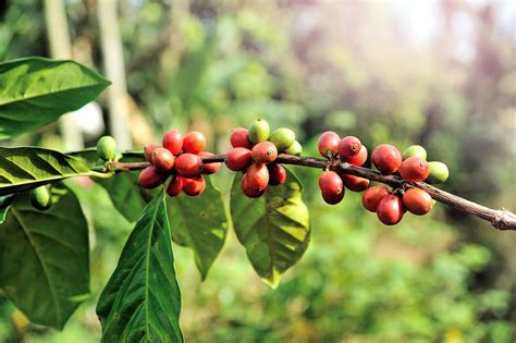 Coffee Tree coffee tree daily coffee news by roast magazine