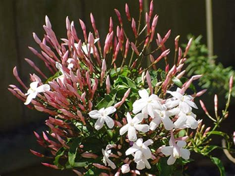 gardensonline jasminum polyanthum
