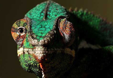 Mask Chameleon Ist Available Optical Lens how do chameleons work