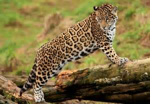 Avp Jaguar Wallpaper Jaguar Log Predator Big Cat Hd