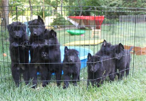 belgian sheepdog puppies for sale belgian sheepdog puppies for sale akc puppyfinder