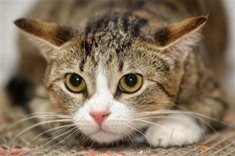 Breed Review: Domestic Shorthair Cat   Argos Pet Insurance