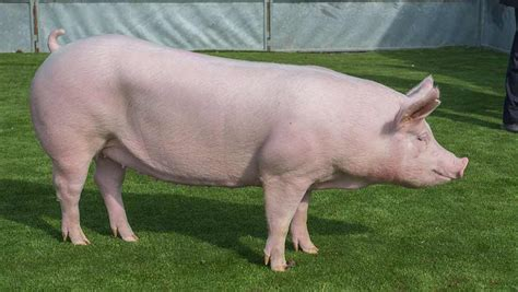 Cmon Ladiesbe Pigs by Taking Stock Pig Interbreed Results From Balmoral Show