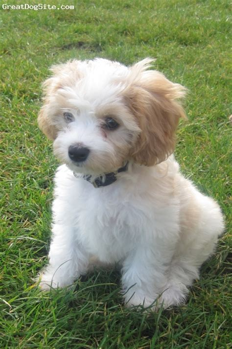 cavachon puppies cavachon dogs questions and answers breeds picture