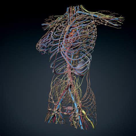 Topi Trucker Robot Cardio Navy human torso anatomy 3d model max obj 3ds fbx c4d lwo lw lws cgtrader