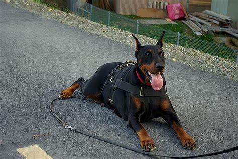 Wolf Doberman Leather Pull Up 02 harness amstaff muzzle collar harness elsavadorla