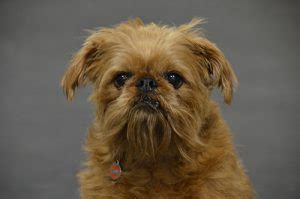 Brussels Griffon Shed by Hypoallergenic Dogs Medium Size Top 10 Grrr