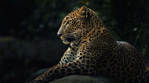 wallpaper iphone 5 leopard animals leopard photos free hd wallpapers download