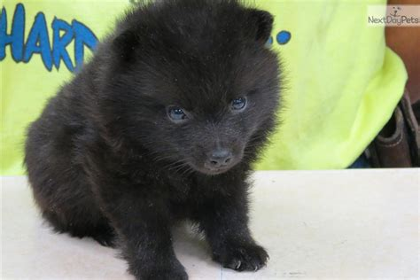 akc schipperke puppies for sale schipperke puppy for sale near chicago illinois fa6553eb a841