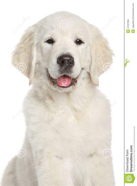 alimentazione cucciolo golden retriever golden retriever cucciolo breeds picture