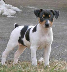 Sale Decker Dekker Fox Mini Size rat terriers rock on rat terriers rat