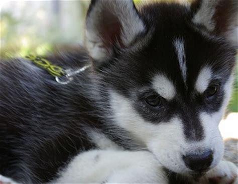 black husky puppies husky mix puppies alaskan mix pictures