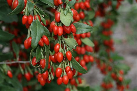 Goji Berry growing goji berries hgtv