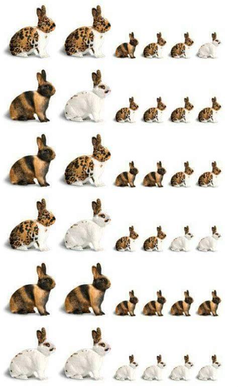 rabbit colors 25 best ideas about rabbit breeds on pet