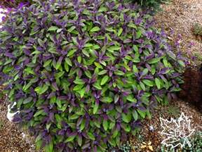 purple leaf sage is an incredible looking shrub but hardy