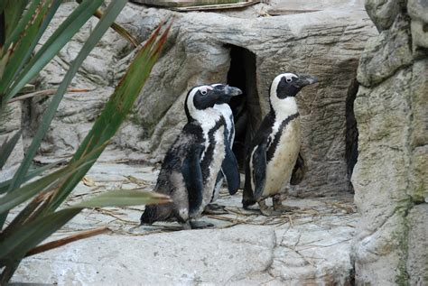 amazon zoo file african penguins at amazon world zoo jpg wikimedia