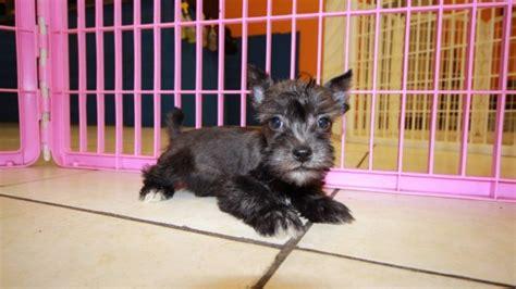 miniature schnauzer puppies for sale in ga black miniature schnauzer puppies for sale in ga at puppies for sale local breeders