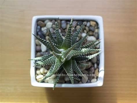 haworthia collection 5 plants easy to grow hard to kill haworthia species easy succulent house plants pictures