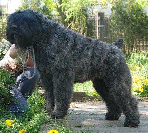 bouvier dogs bouvier des flandres breed standards