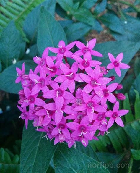 Imagenes De Flores Verbenas | fotos de las flores de la verbena