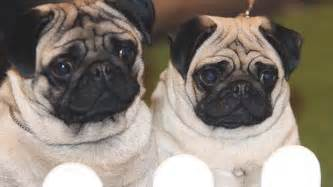 pug breathing problems surgery surge in procedures on pugs this is money