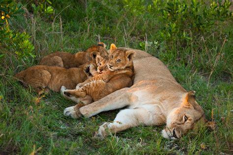 imágenes de leones juntos imagenes de leones imagen leones en familia